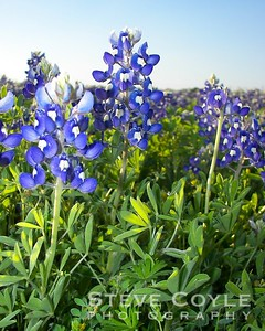 The setting sun made for a nice shot of these bluebonnets in a field north of Leander.