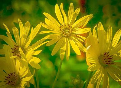 Cup Plant Silphium Perfoliatum  08 16 08  022 - Edit