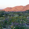 Wildflowers at sunrise near the southern entrance to Joshua Tree National Park.