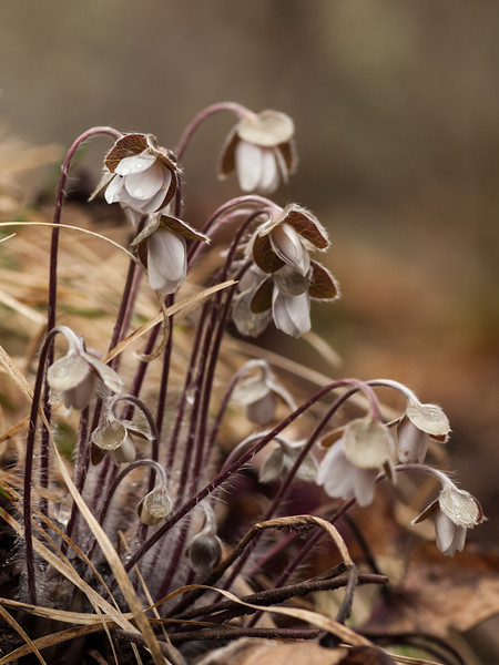 A large cluster of hepatica hunches against the slight rain that was falling.  I hope they don't get crushed by hikers since they were basically in the trail.  Shot w/the OM 90mm f2 legacy macro at f5.6