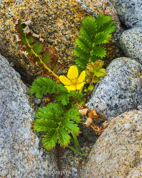 Pacific silverweed