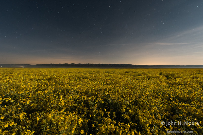 Hillside Daisies (Monolopia lanceolata) in the moonlight at Carrizo Plain National Monument
