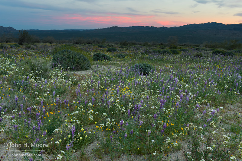 Wildflowers at sunset in Joshua Tree National Park.