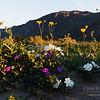 Wildflowers at sunrise in Anza-Borrego Desert State Park.