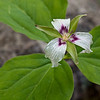 Painted trillium gone by in Fox State Forest.