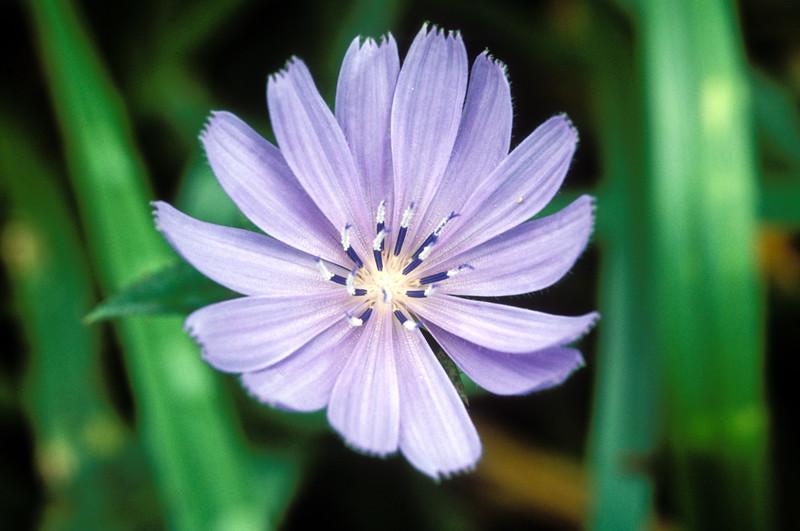Chicory (Cichorium intybus), Augusta Co, VA
