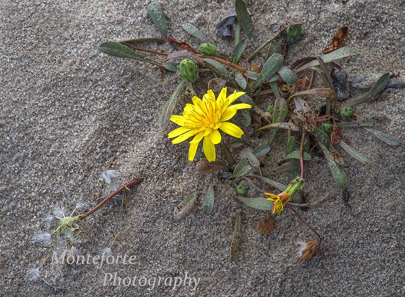 Beach Dandelion - Agoseris apargioides