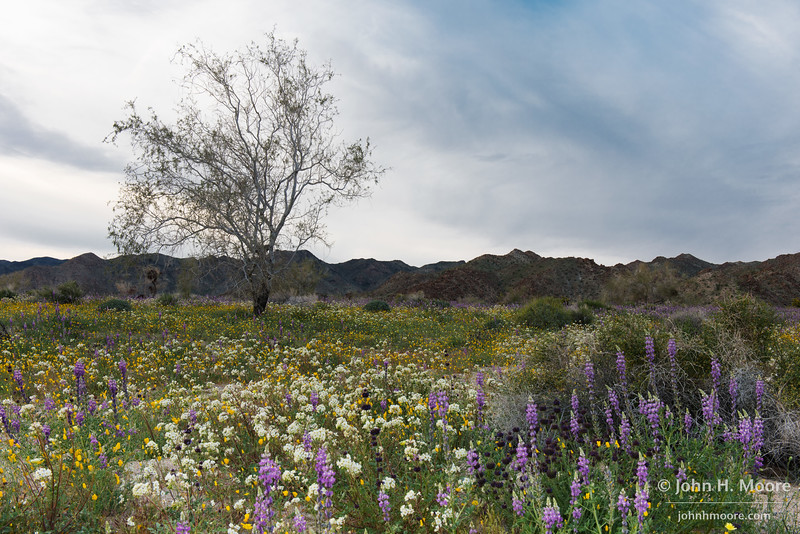 A field of lupine and other wildflowers, with a lone tree, at Joshua Tree National Park.