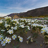 Dune evening primrose at Anza-Borrego Desert State Park, California.
