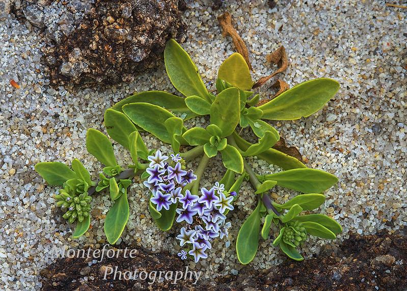 Chinese pursley Heliotropium curassavicum