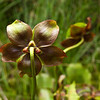 Pitcher plant blossom at Ponemah Bog in Amherst, NH