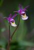 Calypso orchids