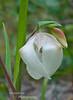 Globe Lily, Calochortus albus