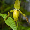 Large Yellow Lady's Slipper (Cypripedium pubescens), Natural Bridge State Park, Kentucky, USA