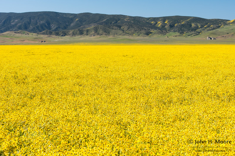 A massive field of Hillside Daisies (Monolopia lanceolata) below the Caliente Range in Carrizo Plain National Monument