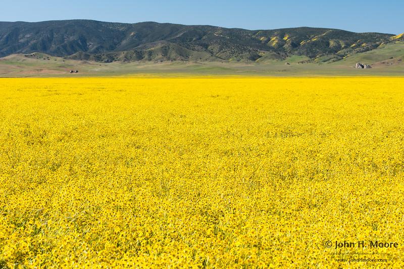 A massive field of Hillside Daisies (Monolopia lanceolata) below the Caliente Range in Carrizo Plain National Monument
