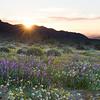 Sunrise at Joshua Tree National Park during wildflower season.