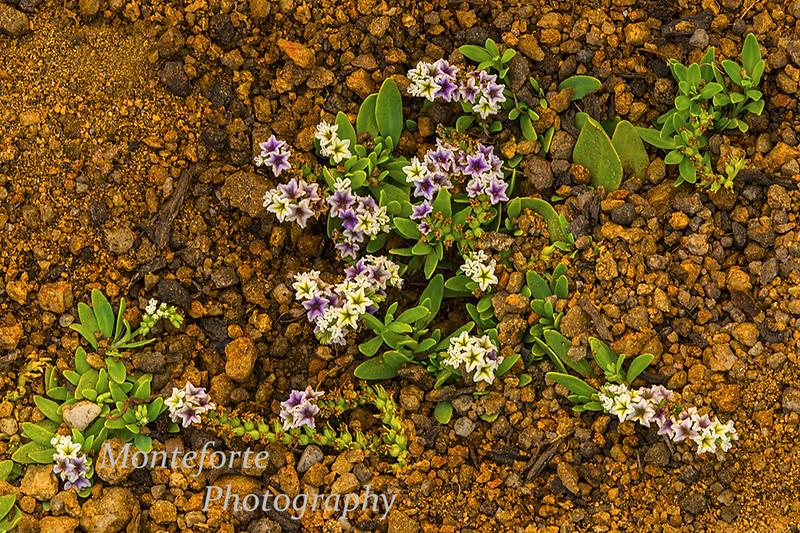 Chinese pusley Heliotroppium curassavicum