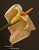 Calla Lily Zantedeschia aethiopica
