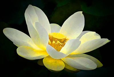 American Lotus