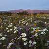 Sunrise light on the mountains of Anza-Borrego Desert State Park behind fields of spring wildflowers.