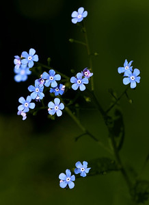 Forget-me-not  05 30 11  003 - Edit