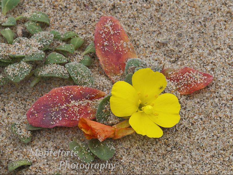 Beach Primrose -