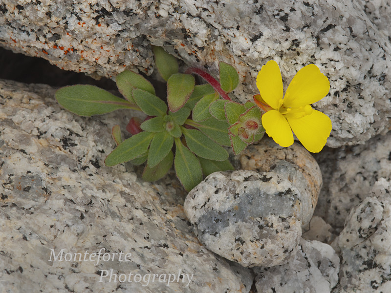 Beach Primrose - Camissonia cheiranthifolia - growing up between rocks on the beach Pacific Grove California