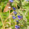 Silver-spotted Skipper (Epargyreus clarus) on Viper's Bugloss (Echium vulgare), Dolly Sods Wilderness, Tucker County, West Virginia, USA
