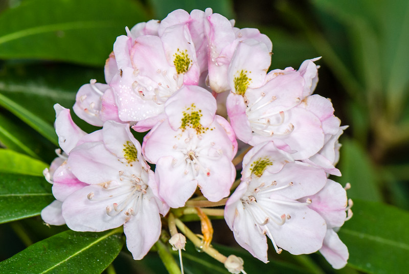 Great Rhododendron (Rhododendron maximum), Dolly Sods Wilderness, Tucker County, West Virginia, USA