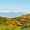 Snow-capped mountains loom behind the wildflower bloom at Diamond Valley Lake in Southern California.