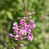 Fireweed (Epilobium angustifolium), Dolly Sods Wilderness, Tucker County, West Virginia, USA