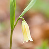 Wild Oats or Sessile-Leaf Bellwort (Uvularia sessilifolia) Great Smoky Mountains National Park, Tennessee