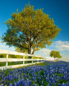 A white fence lined with bluebonnets