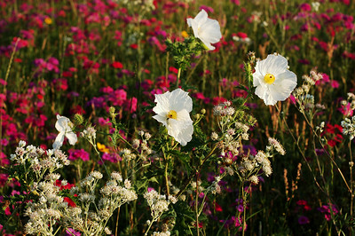 Wildflowers along FM 1464. Richmond, Texas Photo by: Bryan Sparks  Keywords: outdoors,wildflowers,landscape,nature,flowers © 2007 Bryan Sparks