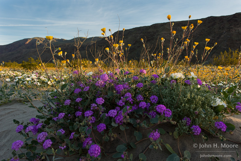 Desert sand verbena mixed with desert sunflowers and a sea of dune evening primrose behind.  Anza-Borrego Desert State Park, California.