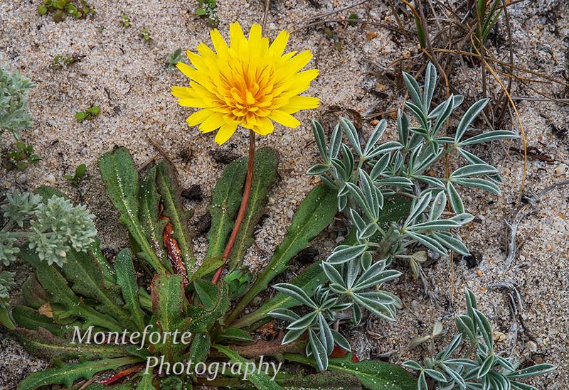 Beach Dandelion