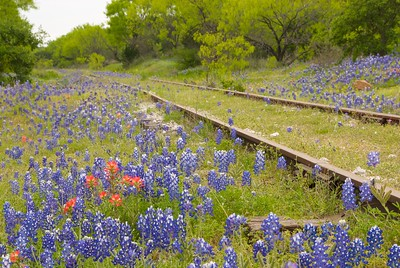 Old railbed and bluebonnets