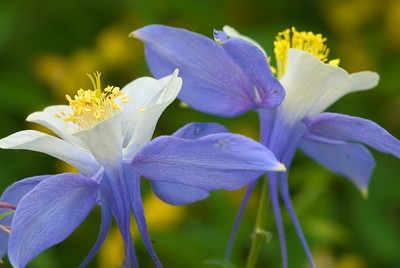 Columbine on the trail to Emmaline Lake, from Pingree Park, Colorado