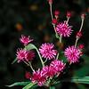 Tall Ironweed (Vernonia altissima), Augusta Co, VA
