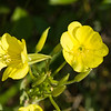 Common Evening Primrose (Oenothera biennis), Dolly Sods Wilderness, Tucker County, West Virginia, USA