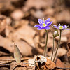 Many of the hepatica in my yard are the deepest purple ones I've seen. These are keeping company with a trout lily, one of thousands in our woods. I love how they pop out against the leaf litter.