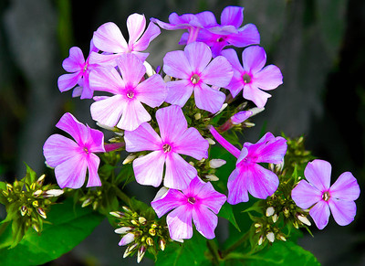 Fall Phlox  07 26 08  006 - Edit-2 - Edit