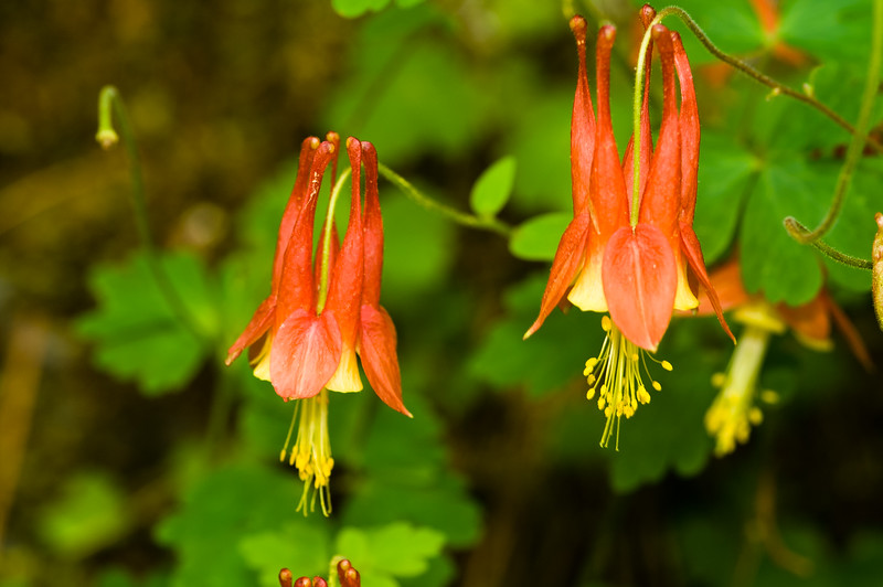 Wild Columbine (Aquilegia canadensis), Great Smoky Mountains National Park, Tennessee