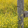 Masses of wildflowers are everywhere in Paso Robles, CA - it's one of the most beautiful places I've ever been in.