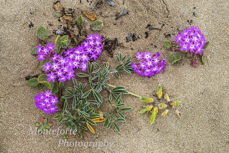 Purple sand verbena Abronia umbrellata and Tidestrom's Lupine Lupine tideestromii