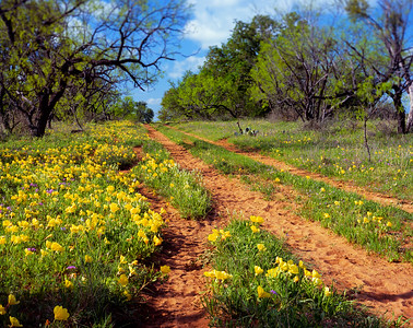 Cattle trails along the side of Ranch Road 152, near Mason, TX. Shot this on my April 2010 Texas wildflower trip, with my Dad and brother along for the ride. There was a decent breeze this morning, and there was no way all those buttercups were going to hold still for a nice long exposure at f/45 to get everything sharp. So I decided to get just the tops of the flowers in focus with a little front lens tilt on the 4x5, and shot it at f/11 instead! I actually rather like the effect, with the flowers in focus all the way from front to back but a little blur in the tops of the mesquite trees.