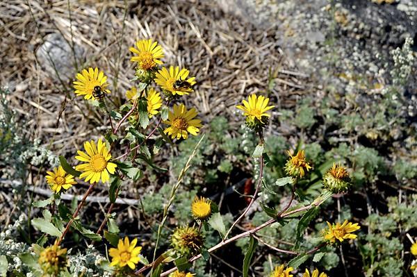 Subalpine Gumweed and Bees