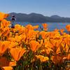California poppies overlook Diamond Valley Lake in Southern California.
