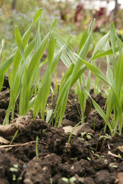 Barley?_4553